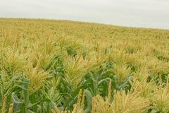 pole kukurydzy Zdjęcie Royalty Free