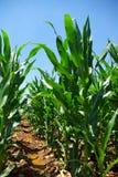 pole kukurydzy rząd fotografia royalty free