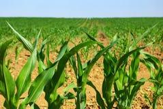 pole kukurydzy rząd zdjęcie royalty free