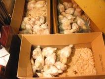 pole kurczaka dziecko Karton, potomstwo obrazy stock