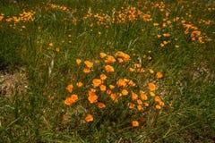 pole kwiatów poppy obraz stock