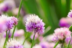 pole kwiatów purpurowy Zdjęcia Stock