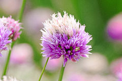 pole kwiatów purpurowy Fotografia Royalty Free