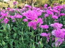 pole kwiatów różowy Zdjęcie Stock