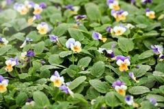Pole kwiatonośni pansies Obrazy Royalty Free