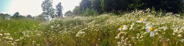 Pole kwiatonośny Chamomile zdjęcie royalty free