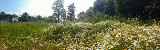 Pole kwiatonośny Chamomile fotografia royalty free