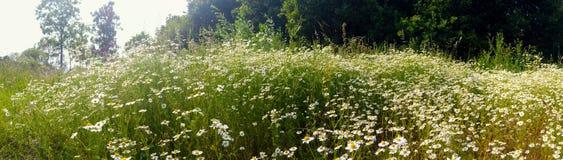 Pole kwiatonośny Chamomile obraz royalty free