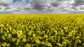 Pole kwiatonośny oilseed gwałt pod chmurzący Fotografia Stock