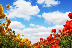 Pole kwiatonośni jaskiery obraz royalty free