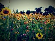 Pole kwiaty Fotografia Stock