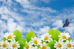 Pole kwiaty rumianek na tła niebieskim niebie Fotografia Royalty Free