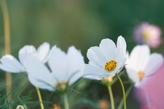 Pole kwitnąć białego sulphureus kosmos kwitnie w ogródzie, Fotografia Royalty Free