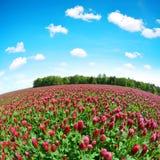 Pole kwitnąć ciemnopąsowych koniczyn Trifolium incarnatum w wiosna wiejskim krajobrazie Zdjęcia Stock