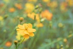 Pole kwitnący żółty kosmos kwitnie w ogródzie, Tajlandia Zdjęcia Stock