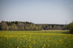 Pole kwitnący canola przeciw tłu las zdjęcie stock