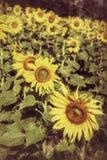 Pole kwitnący słoneczniki fotografia stock