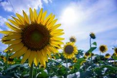 Pole kwitnący słoneczniki na tło zmierzchu obrazy stock
