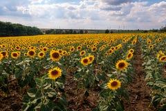 Pole kwitnący słoneczniki przeciw niebieskiemu niebu Obrazy Stock