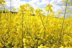 Pole Kwitnie canola żółty kwiatonośny oilseed gwałt na chmurnym niebieskim niebie w wiośnie, (Brassica napus) Zdjęcia Stock