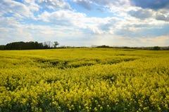 Pole Kwitnie canola żółty kwiatonośny oilseed gwałt na chmurnym niebieskim niebie w wiośnie, (Brassica napus) Zdjęcie Royalty Free