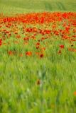 pole kwitnie makowego lato Obraz Royalty Free