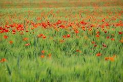 pole kwitnie makowego lato Zdjęcie Royalty Free