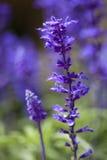 pole kwitnie purpury Fotografia Royalty Free