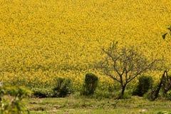 pole kwitnie rapeseed kolor żółty Zdjęcie Royalty Free