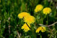 Pole kwitnie w polu Zdjęcia Stock