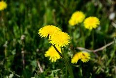 Pole kwitnie w polu Fotografia Stock