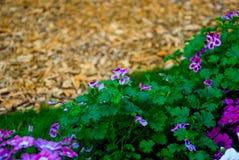Pole kwitnie w polu Obrazy Stock