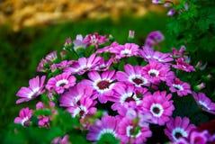 Pole kwitnie w polu Obraz Royalty Free