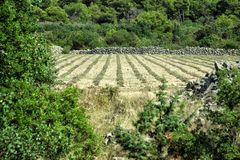 Pole lawenda - Chorwacja zdjęcie stock