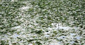 Pole Lotosowych kwiatów liście Fotografia Stock