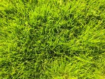 Pole młoda banatka Tło zielona trawa Zieleni pszeniczni ucho w polu Zielony gazon dla tła Fotografia Royalty Free