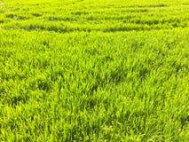 Pole młoda banatka Tło zielona trawa Zieleni pszeniczni ucho w polu Zielony gazon dla tła Fotografia Stock