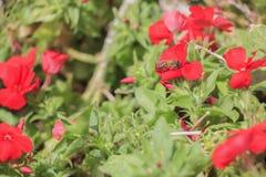 Pole mały czerwony kwiat Fotografia Stock