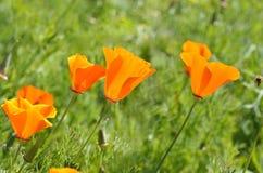 Pole Makowi kwiaty zdjęcie stock