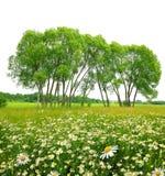 Pole marguerites z drzewami Zdjęcie Royalty Free