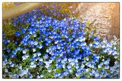 Pole na błękitnych małych kwiatach w Kwietniu Uprawiać ogródek błękit kwitnie w słonecznym dniu obrazy royalty free