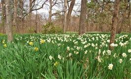 Pole narcyz Kwitnie, powszechnie dzwonił Daffodil, obraz stock