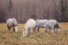 pole pasa zielonego stada koni lato Zdjęcie Royalty Free