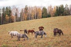 pole pasa zielonego stada koni lato Fotografia Stock