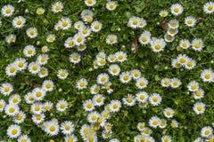 Pole pełno kwitnący podia w jaskrawym słońcu Zdjęcia Stock