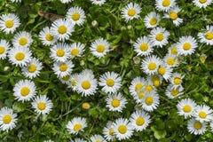 Pole pełno kwitnący podia w jaskrawym słońcu Fotografia Royalty Free