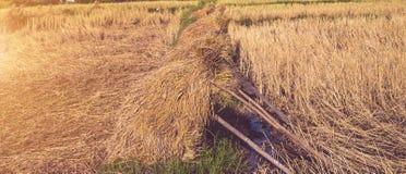 Pole pełno złoci ryżowi pola Obraz Stock