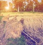 Pole pełno złoci ryżowi pola Obrazy Royalty Free