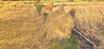 Pole pełno złoci ryżowi pola Obrazy Stock