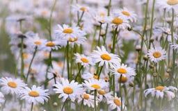 Pole perfect białe & żółte stokrotki! Obrazy Royalty Free